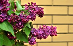 Branch of lilac in the spring garden royalty free stock photo