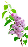 Branch of lilac (Syringa) on a white background Stock Images