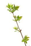 Branch lilac tree Royalty Free Stock Image