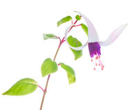 The branch lilac with white fuchsias Royalty Free Stock Image