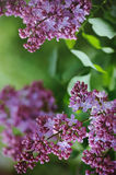 Branch of lilacs flower Stock Photography