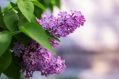 A branch of lilacs with flowers close up. Copy space royalty free stock photo