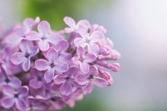 A branch of lilacs with flowers close up. Copy space royalty free stock image