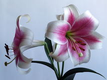 Branch of a lilies Royalty Free Stock Images