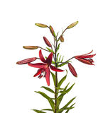 The branch of lilies with buds on a white background isolated Royalty Free Stock Image