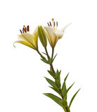 The branch of lilies with buds on a white background isolated Stock Photo