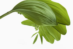 Branch of lilies of the valley with rhythmically located leaves Royalty Free Stock Photo