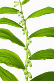 Branch of lilies of the valley with rhythmically located leaves Stock Image
