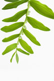 Branch of lilies of the valley Stock Photo
