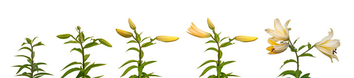 The branch of  lily Lilium OT-Hybrids with bud growing in germin Stock Photos