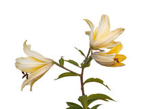 The branch of  lily Lilium OT-Hybrids with bud Stock Photos