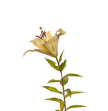 The branch of  lily Lilium OT-Hybrids with bud Royalty Free Stock Photo