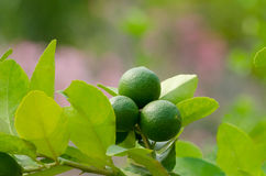 Branch of lime tree. Limes hang on lime tree in morning sunlight royalty free stock photos