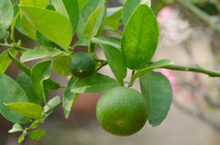Branch of lime tree stock photos