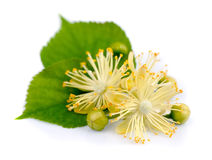 Branch of linden flowers Stock Photography