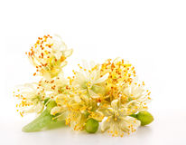Branch of linden flowers Royalty Free Stock Photo