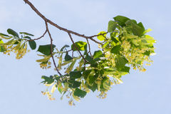 Branch of linden with flowers against the sky Royalty Free Stock Photography