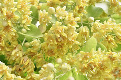 Branch of linden flowers Royalty Free Stock Photos