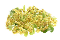 Branch of linden flowers isolated Royalty Free Stock Image