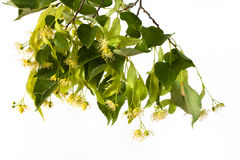 Branch of linden flowers Royalty Free Stock Image