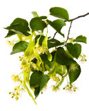 Branch of linden with flowers Royalty Free Stock Photo