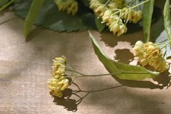 Branch of linden flowers on wooden background. Royalty Free Stock Images