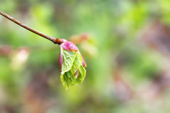 A branch of linden with leaves blooming out of the buds Royalty Free Stock Photos