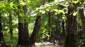 Branch of a linden in a sunny summer forest. stock footage