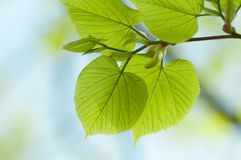 Branch of linden tree. Stock Image