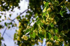 Branch of linden tree against the blue sky. Closeup of blossoming plant lit by the sun Royalty Free Stock Photo