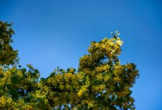 Branch of linden tree against the blue sky. Closeup of blossoming plant lit by the sun Stock Photo