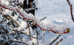 Winter Tree. A branch with a little bloom, in the Winter completely coated in ice Royalty Free Stock Photos