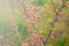 Branch with little pink flowers, flowers in the garden at spring. Branch with little pink flowers, twig shrub with small pink flowers, flowers in the garden at Stock Photography