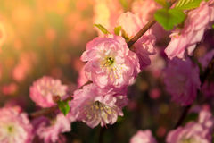 Branch with little pink flowers, flowers in the garden at spring. Branch with little pink flowers, twig shrub with small pink flowers, flowers in the garden at Stock Photo