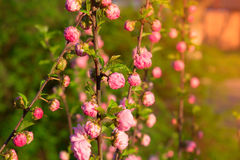 Branch with little pink flowers, flowers in the garden at spring. Branch with little pink flowers, twig shrub with small pink flowers, flowers in the garden at Royalty Free Stock Photo