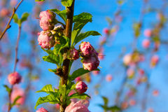 Branch with little pink flowers. Sakura. Cherry Blossom in Springtime. Beautiful Pink Flowers. branch with little pink flowers, flowers in the garden at Stock Photo