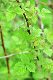 Branch with lush spring green leaves of gooseberry Royalty Free Stock Images