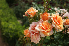 Branch of luxury orange roses. Magnificent branch of orange blooming roses. Blurred  background of garden green bushes Royalty Free Stock Images