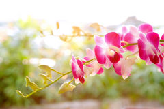 Branch of magenta tropical orchid Stock Photos