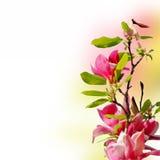 Branch of magnolia Stock Photo