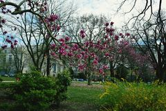 Branch of magnolia royalty free stock photography