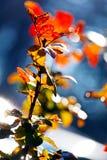 Branch of mahonia Royalty Free Stock Photo