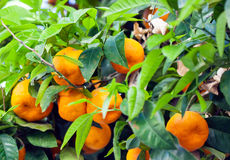 Branch with mandarin. The branch of sweet mandarin tree close-up Royalty Free Stock Photo