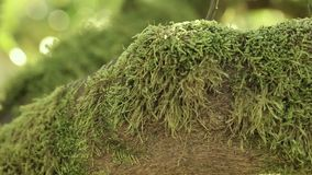 On the branch of a mandarin tree a beautiful green moss, against a background of rays of a warm sun. Nature stock footage