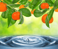 Branch of mandarine tree. With mandarines above the water level royalty free stock image