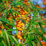 Branch of many buckthorn berries during late Royalty Free Stock Photography