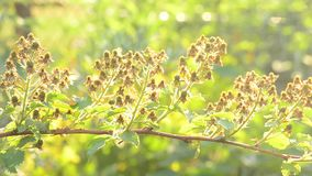 Branch with many green unripe blackberries stock video footage