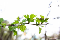 Branch of maple. Green branch of maple in the spring Royalty Free Stock Photo