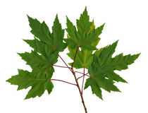 Branch maple Royalty Free Stock Photo