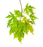 Branch of maple with green leaves isolated Stock Photos